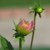 "Flower Bud • <a style=""font-size:0.8em;"" href=""http://www.flickr.com/photos/41711332@N00/1324403317/"" target=""_blank"">View on Flickr</a>"