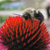 "Bee on a flower • <a style=""font-size:0.8em;"" href=""https://www.flickr.com/photos/41711332@N00/1066799900/"" target=""_blank"">View on Flickr</a>"
