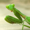 "Praying Mantis • <a style=""font-size:0.8em;"" href=""https://www.flickr.com/photos/41711332@N00/3565376305/"" target=""_blank"">View on Flickr</a>"